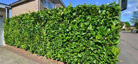 portugiesischer kirschlorbeer hecke buchsbaumersatz pflanzmich de