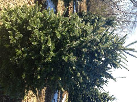 cut your own christmas tree pell family farm