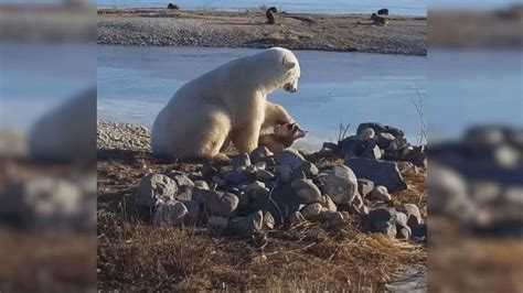 heartwarming video shows polar bear petting eskimo dog