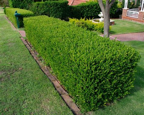 Common Boxwood Seeds Buxus sempervirens 25 Seeds