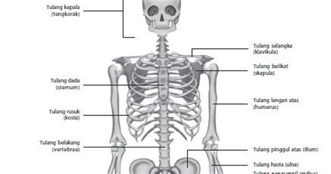 quota era una cosa divertente fungsi sistem tulang rangka
