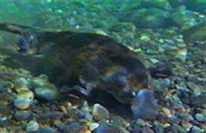 Platypuses | In the Water | Our Animals