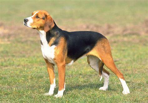 schillerstoevare hond te koophond te koop