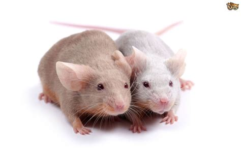 Common Mice Health Problems