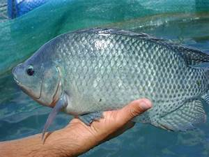 The 3 Most Common Types of Tilapia - The Healthy Fish