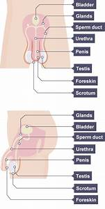 Learn How The Male And Female Reproductive Systems Work
