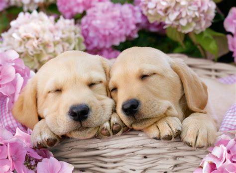 Dann finden sie hier einige wichtige informationen zum thema hundesteuer in süßen. Ravensburger - 13235 - Sweet Dogs in a Basket (Greg Cuddiford) - 300 XXL Piece | Barneys News Box