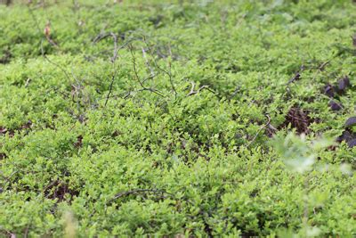 heidelbeeren erntezeit wald erntezeit heidelbeeren blaubeeren im wald ernten