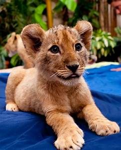 Lion Cubs At Busch Gardens