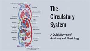 Mblex Prep  Circulatory System Anatomy And Physiology