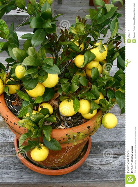 lemons in a pot royalty free stock photography image 5267417