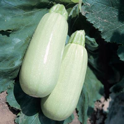 Light Green Squash by Food At Home Healthy Tasty Cheap