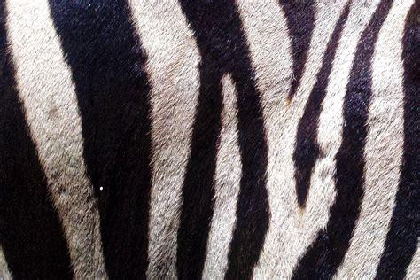 zebra skin   stock photo public domain pictures