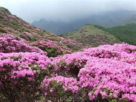 planter rhododendron comment planter le rhododendron en rocaille le jardinier