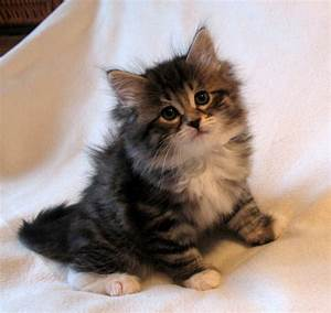 1000+ images about Siberian Cats on Pinterest | Siberian ...