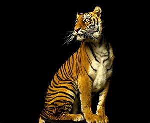 Tiger Queen - Cats & Animals Background Wallpapers on ...