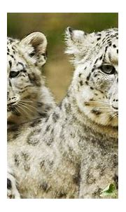 First Ever Videos of Snow Leopard Mother and Cubs in Dens ...