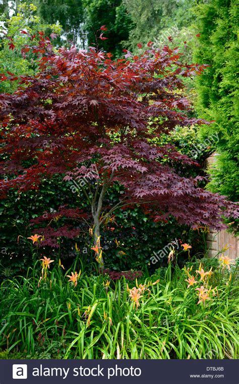 planting a japanese maple purple acer palmatum japanese maple underplant underplanted orange stock photo royalty free