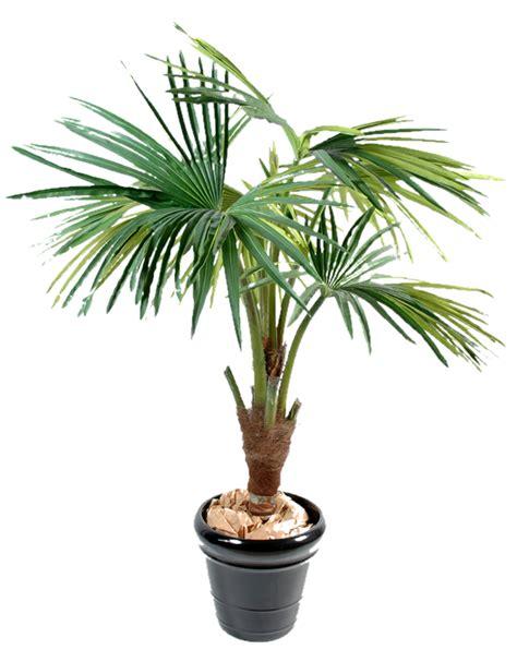 palmier en pot palmier en pot