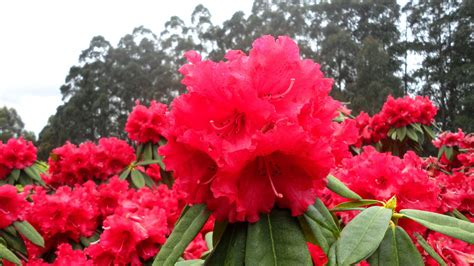 reasons  visit  national rhododendron garden