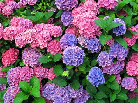 flower hydrangea magnifazine hydrangeas