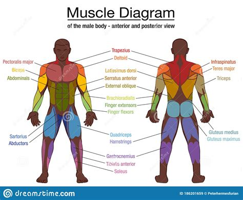 A muscle is a group of muscle tissues which contract together to produce a force. Muscle Diagram Black Man Male Body Names Stock Vector ...