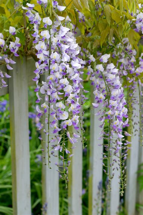 copy right free pictures of purple wisteria wisteria royalty free stock photography image 765347