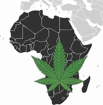 South Cannabis Africa Dagga African Marijuana Industry