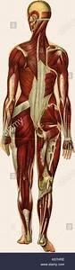 Female Anatomy Diagram Stock Photos  U0026 Female Anatomy Diagram Stock Images