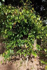 Types Of Gymnosperm Plants