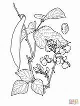 Coloring Bean Pages Sprout Runner Beans Drawing Printable Pe Clipart Feijao Desenho Ruff Draw Sketch Dave Tweet Um Template Getcolorings sketch template