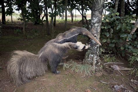 stuffed anteater     winner   wildlife