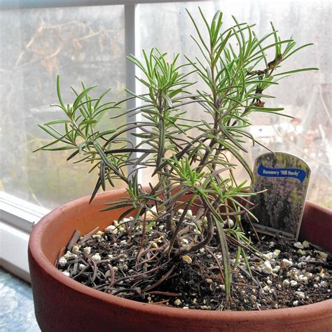 tips  keeping rosemary alive  winter