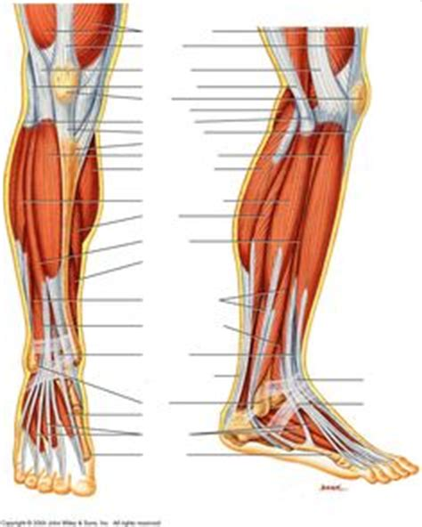 The muscle groups of the upper leg region are the gluteal group, the quadriceps group,the adductor group right: Anatomy Of Calf Muscles And Tendons | humananatomybody ...