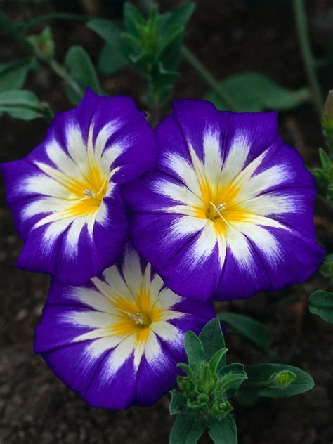 annual flowers top purple annual flowers for your garden hgtv