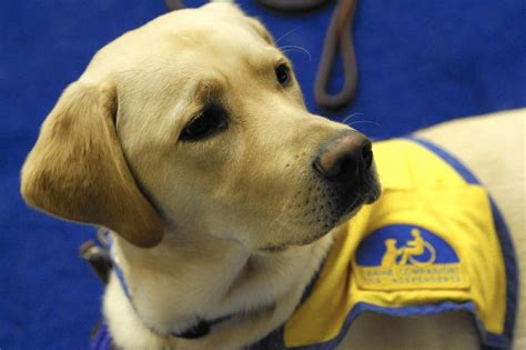'emotional Support Animals' Stink Up Service Dog