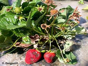 Fruit  Strawberry Anthracnose