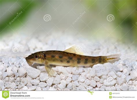 poisson chat chinois de mangeur d algues photo stock image 44112470