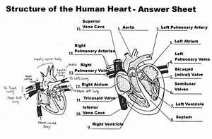 Human Circulatory System Worksheets Answers
