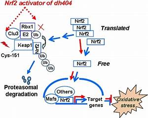 A model of dh404-induced activation of Nrf2.Under norma ...