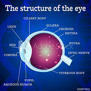 U0026quot Human Eye Anatomy Structure Medical Manual For