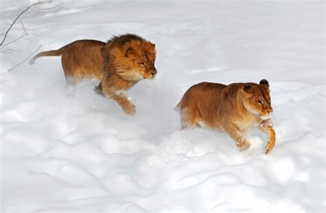 cats playing   snow