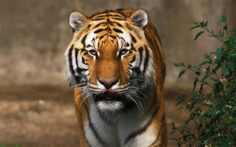 tiger  lion wallpapers  wallpapers adorable