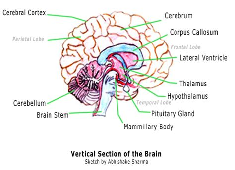 Label Brain Diagram by Diagram Of The Brain And Its Functions