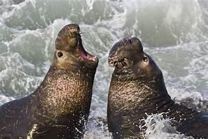 File:Northern Elephant Seal, San Simeon2.jpg - Wikimedia ...