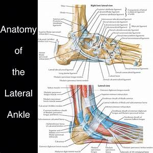 Normal illustrated anatomy of the lateral ankle. Deep ...