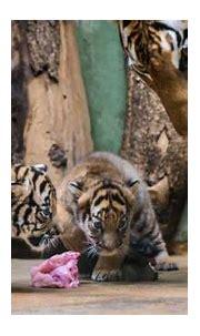 Rare Malayan Tiger Cubs Show Their Personalities - ZooBorns