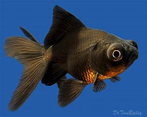 Black Moor Goldfish for Sale - AquariumFish.net