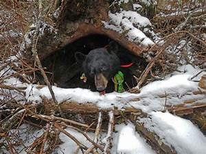 Looduskalender • View topic - The Black Bear Cam - Lily ...