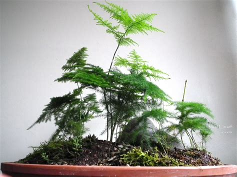 low light ferns scented leaf saikei with asparagus fern